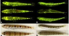 Cientistas identificam mais de 180 espécies de peixes fluorescentes (Foto Divulgação)