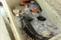 combate a pesca predatoria apreende redes e peixes no Para (Foto reproducao G1) 3