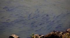 No período da piracema, os peixes saltam para desovar