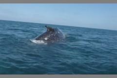 foca pega canora nas costas de uma baleia no mexico