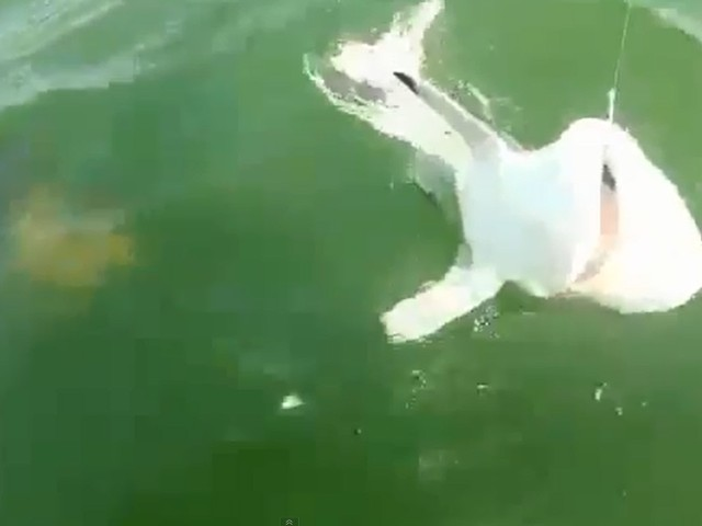 garoupa ataca tubarao