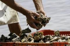 MPA apura importação ilegal de ostras em Santa Catarina (Foto: Arquivo)