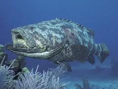 O Mero é um peixe em extincao no Brasil (Foto: Arquivo Pesca Amadora)