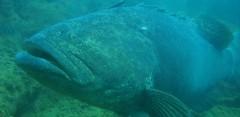 Mero quase foi arpoado por caçadores em Arraial do Cabo-RJ (Foto : Arquivo Pesca Amadora)