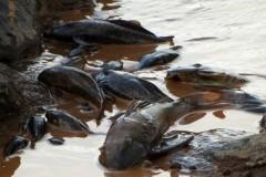 nove toneladas de peixes ja foram recolhidos nas margens do rio doce