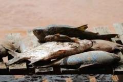nove toneladas de peixes ja foram recolhidos nas margens do rio doce 5