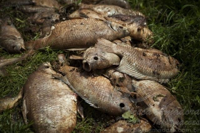 nove toneladas de peixes ja foram recolhidos nas margens do rio doce 6