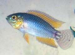 peixe apistogram encontrado na amazonia