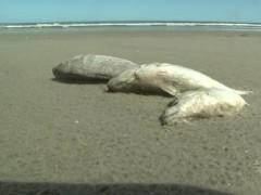 peixes aparecem mortos em orla da Ilha Comprida-SP 2
