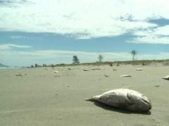 peixes aparecem mortos em orla da Ilha Comprida-SP