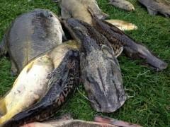 Peixes mortos retirados do lago do Pesqueiro Tio Oscar (Foto: Tiago Santarello)