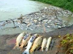 peixes mortos por uso de timbo