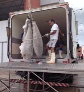 Peixes nobres sendo armazenados na Paraíba, Governo investiu R$ 206 Mil Reais (Foto Divulgação)