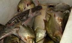 pescado apreendido em santarem