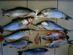 pescado apreendido no rio Ivai-PR