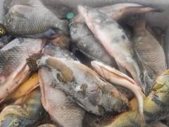 pescado ilegal apreendido em Ubarana-SP