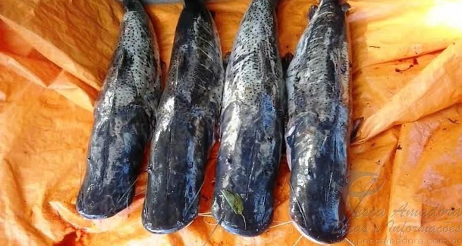 pescado ilegal apreendido pela PMA em Anastacio-MS
