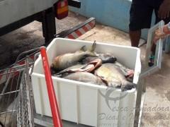 pescado irregular apreendido no MT