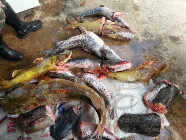 pescado irregulr apreendido no MS 2