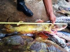 pescado irregulr apreendido no MS
