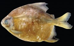 piranha vegetariana da amazonia