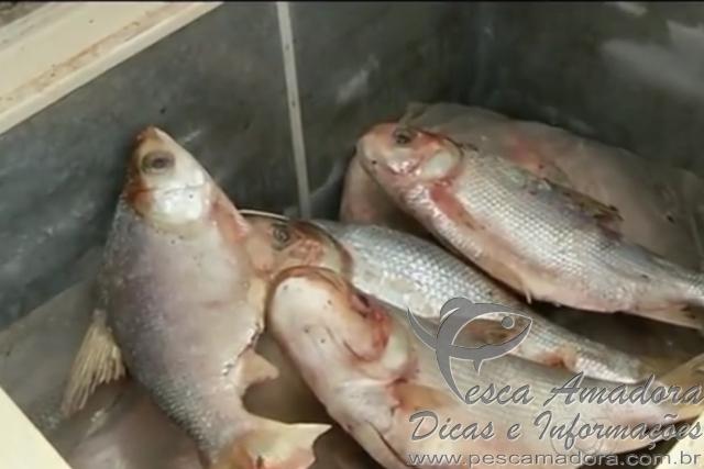 policia civil apreende 652 kg de pescado ilegal em Goias 2