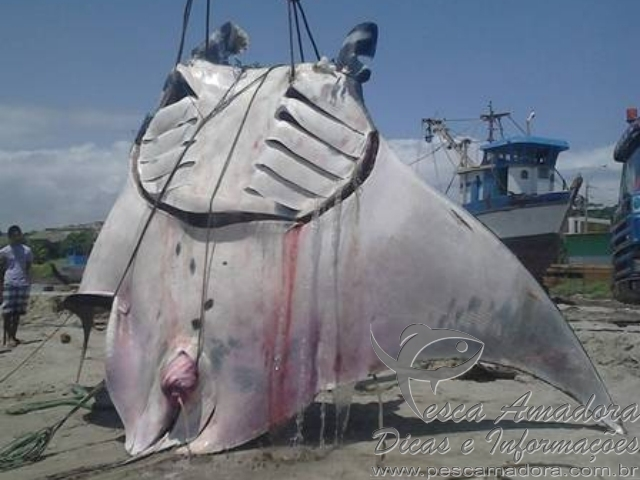 raia manta gigante pescada acidentalmente no peru