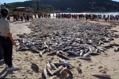 sebrepesca da tainha na costa brasileira 2