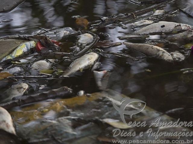 sete toneladas de peixes mortos ja foram retirados em Santos-SP 2