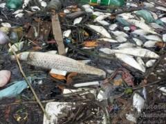 sete toneladas de peixes mortos ja foram retirados em Santos-SP