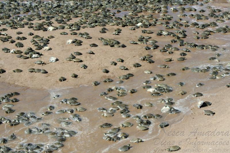 soltura de 100 mil quelonios na Amazonia