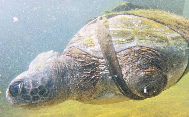 tartaruga recebe nadadeiras artificiais em Israel