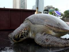 tartarugas encontradas presa em rede de pesca em Vitoria-ES