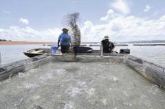 Tilapia Africana se adaptou bem ao clima no Brasil (Foto Divulgação)