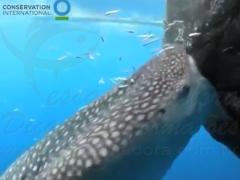 tubara baleia rouba peixes de rede