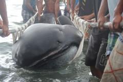 tubarao boca grande e encontrado morto nas Filipinas 2