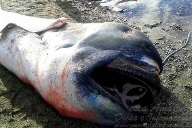 tubarao boca grande e encontrado morto nas Filipinas